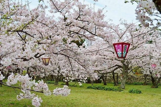 萩城跡指月公園の桜