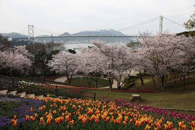 火の山公園の桜