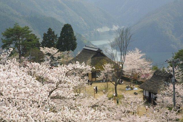 三休公園の桜