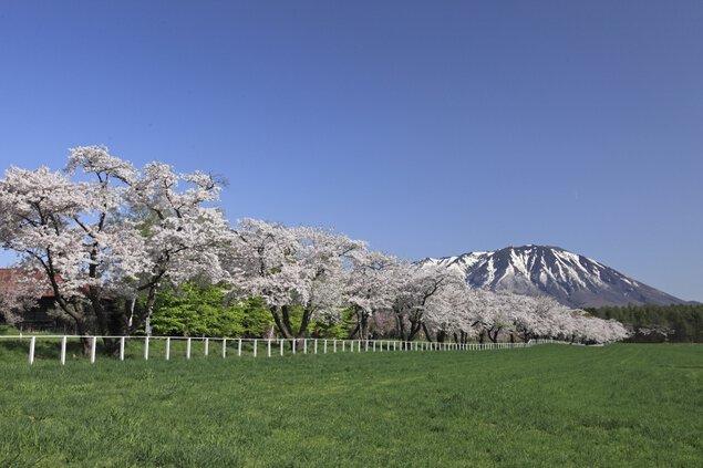 小岩井農場の桜