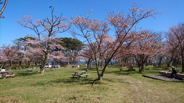 えりも町庶野さくら公園の桜