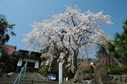 【桜・見ごろ】西方寺のしだれ桜