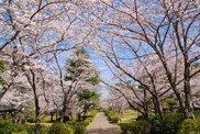 諏訪公園桜まつり