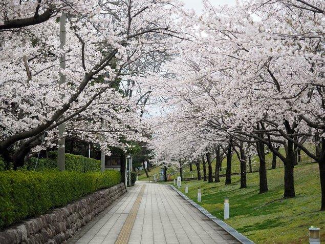 白山公園の桜