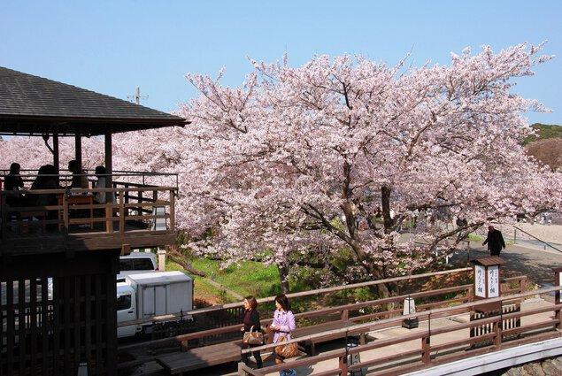 五十鈴川堤の桜