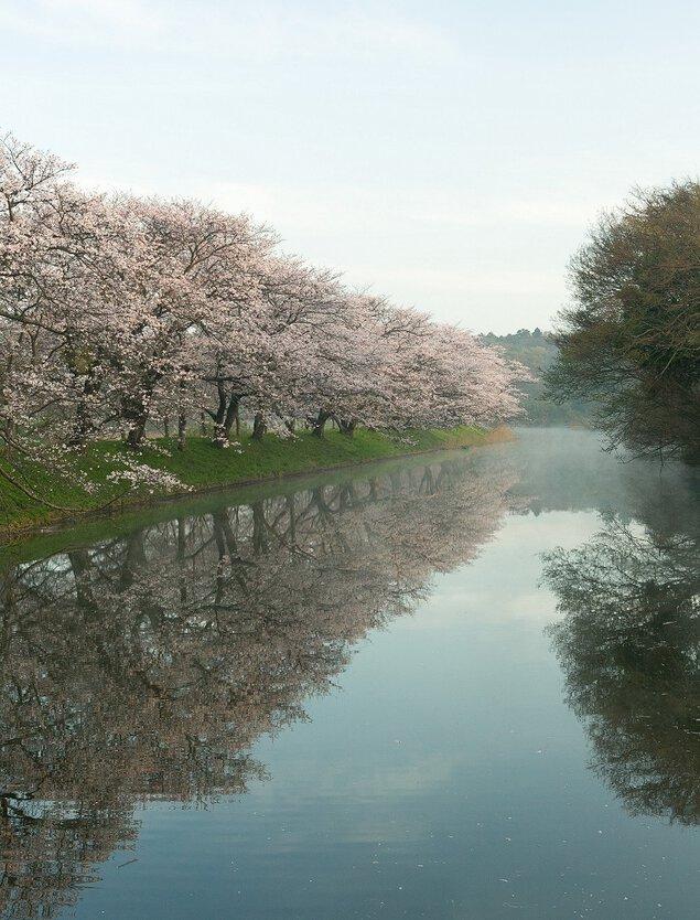 福岡堰の桜の桜