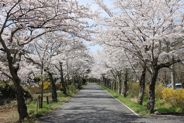 太平山県立自然公園の桜