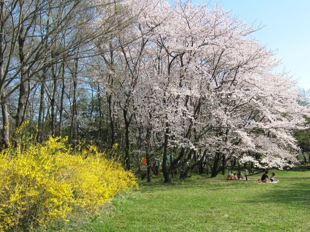 秋ヶ瀬公園の桜