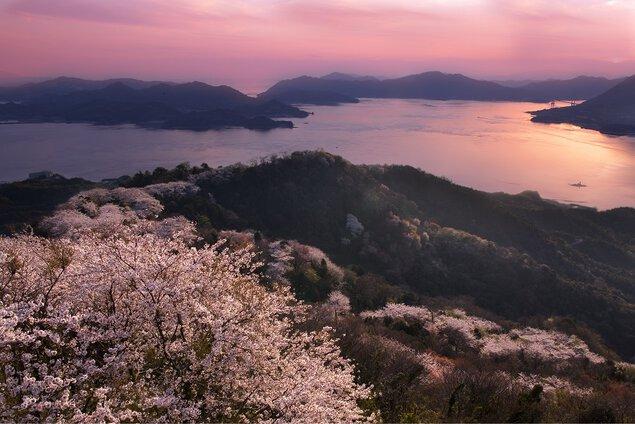 積善山三千本桜の桜