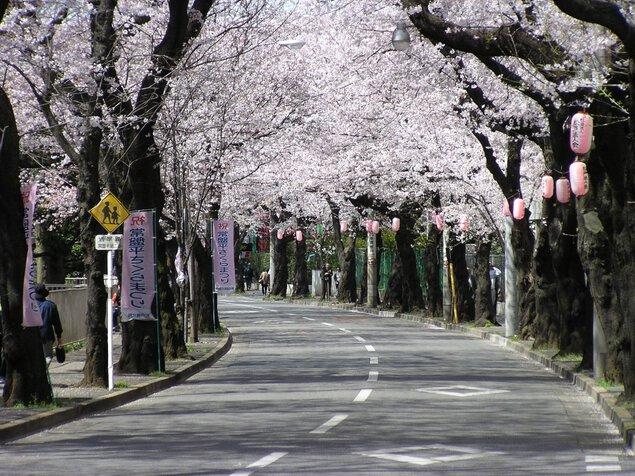 常盤平さくら通りの桜