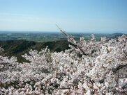 太平山 桜まつり