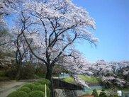 【桜・見ごろ】御殿山公園