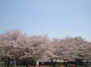 寺山いこいの広場の桜