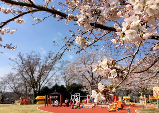 松ヶ岡公園の桜