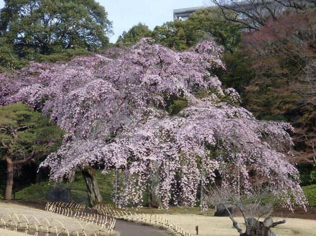 【桜・見頃】小石川後楽園