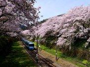山北鉄道公園(御殿場線沿い桜並木の通り)