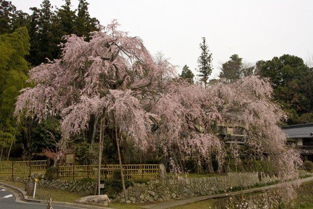 神原のシダレザクラの桜
