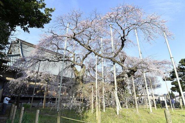 般若院のしだれ桜の桜