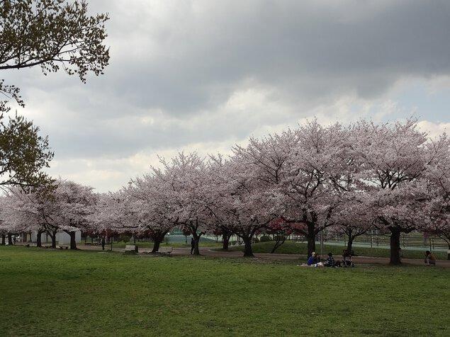 埼玉県県民健康福祉村の桜