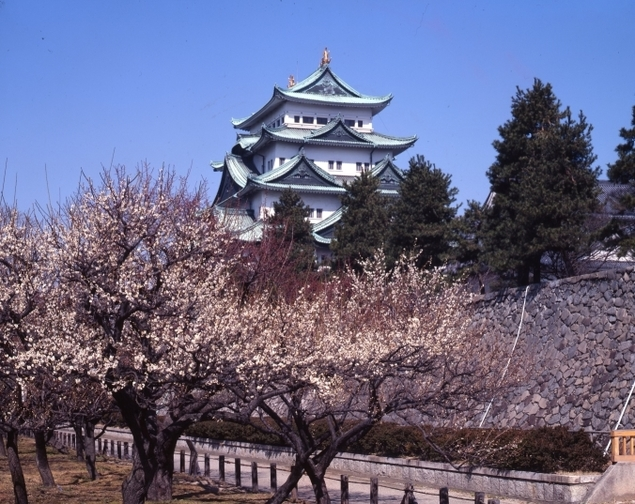 【桜・見頃】名古屋城
