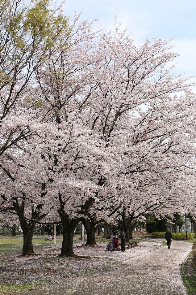 杉戸西近隣公園の桜 (埼玉県北葛...