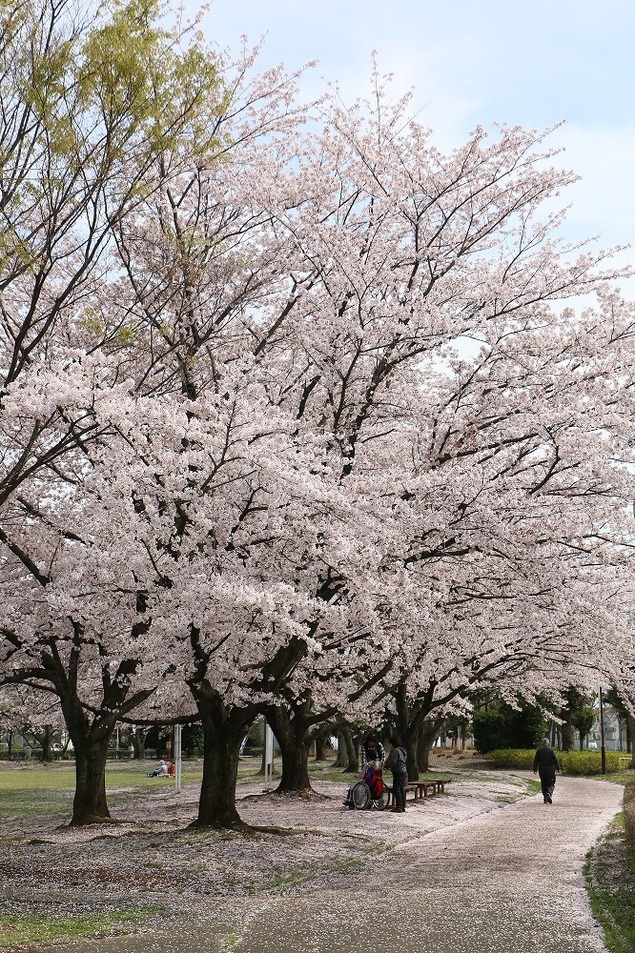 杉戸西近隣公園の桜