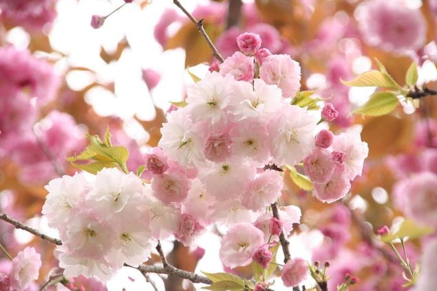 静峰ふるさと公園の桜