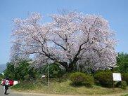 【桜・見ごろ】東尾大塚古墳の一本桜