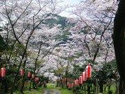 【桜・見ごろ】白坂公園の桜並木