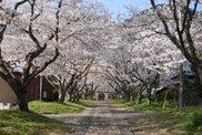 【桜・見ごろ】円応寺