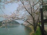 【桜・見ごろ】保養村