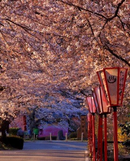 岳温泉の桜