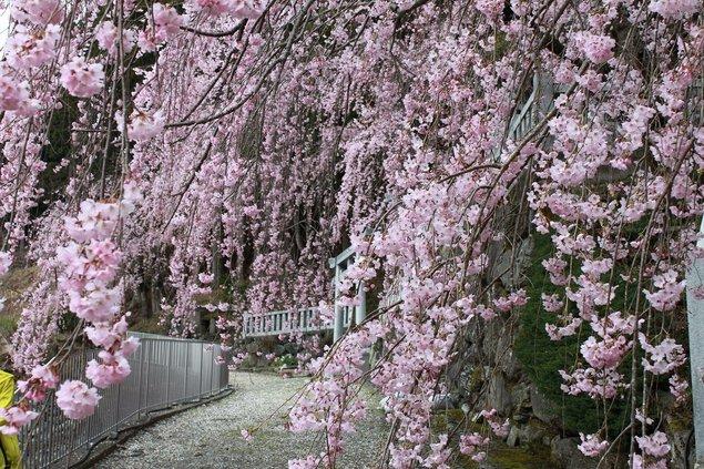 川井峠のシダレザクラの桜