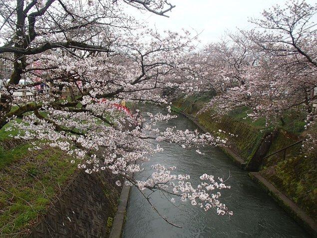 岸渡川堤の桜