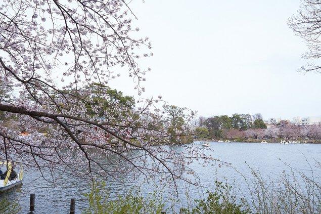 洗足池公園の桜
