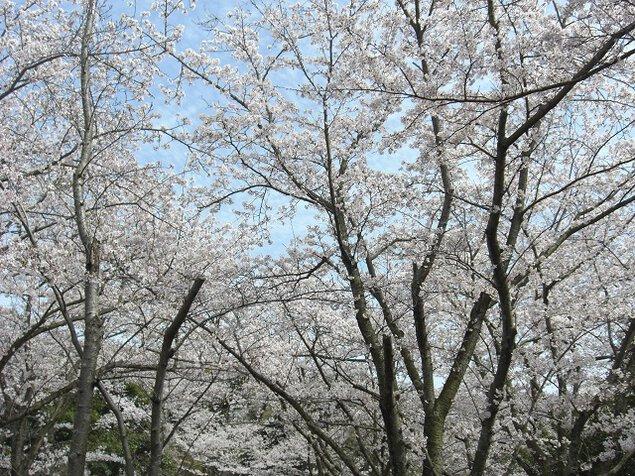 大井関公園の桜