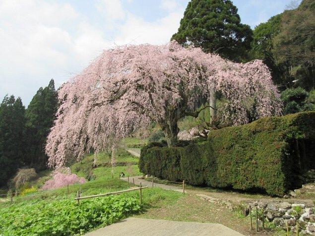 中越家のしだれ桜の桜