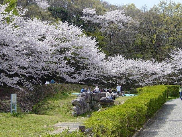 大阪府立近つ飛鳥博物館の桜