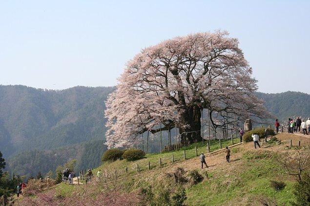 醍醐桜の桜