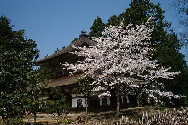 【桜・見頃】總持寺祖院