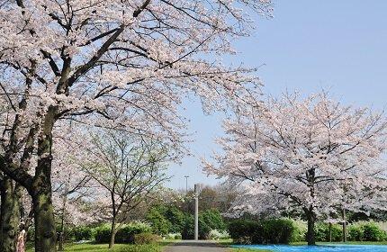 【桜・見頃】辰巳の森緑道公園