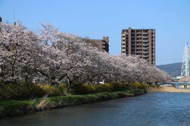 切戸川の桜