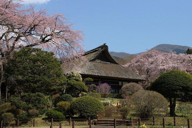 秩父宮記念公園の桜