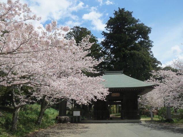 西蓮寺の桜
