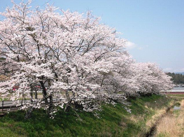 甲南町下野川の桜