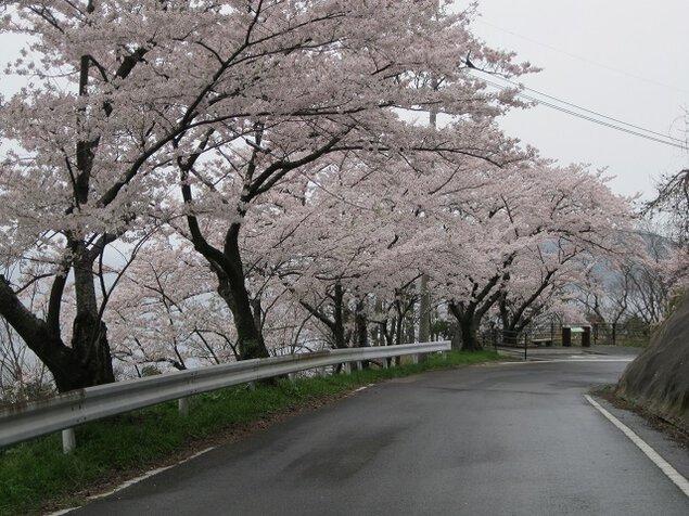 チェリーロードの桜