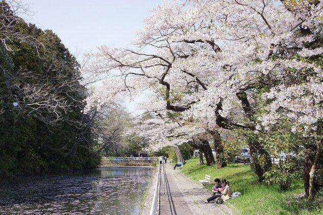 青葉山公園(仙台城跡)の桜