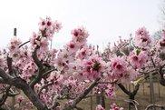 桃の花見フェスティバル