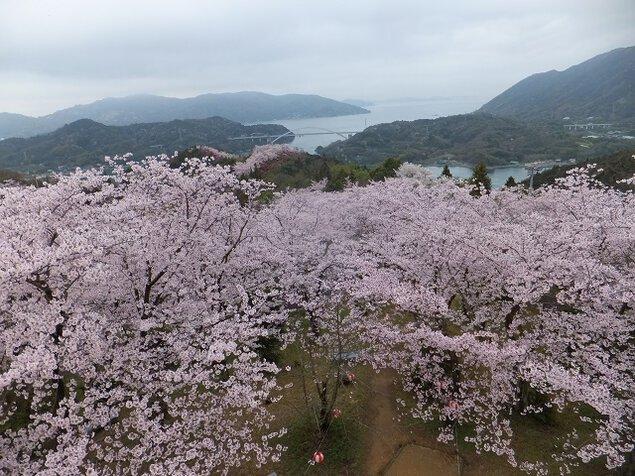 開山公園の桜