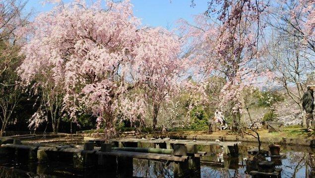 荒井城址公園(シダレザクラ)の桜